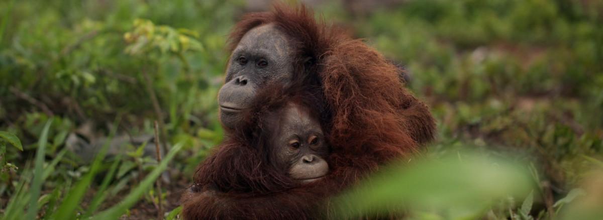 Orangutan-Deforestation-e1445632467606