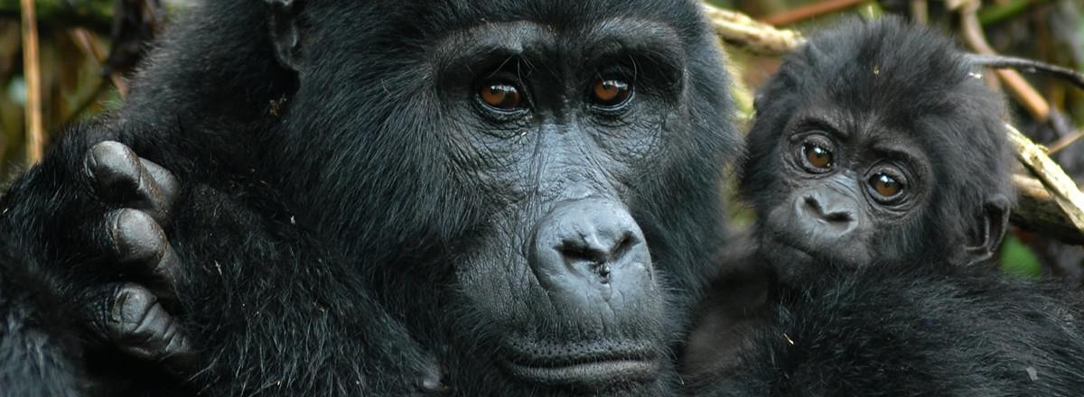 gorilla-header1-e1445626550411